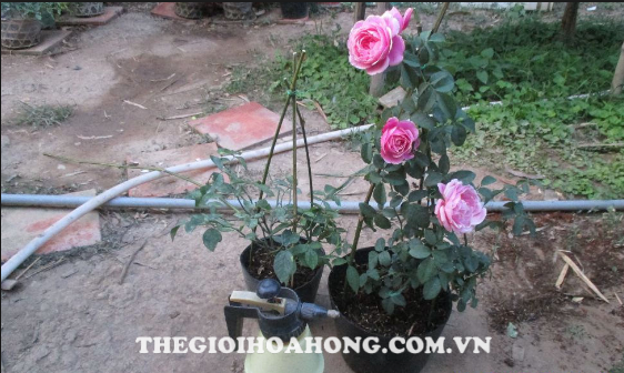Thay chậu hồng Soeur Emmanuelle Rose