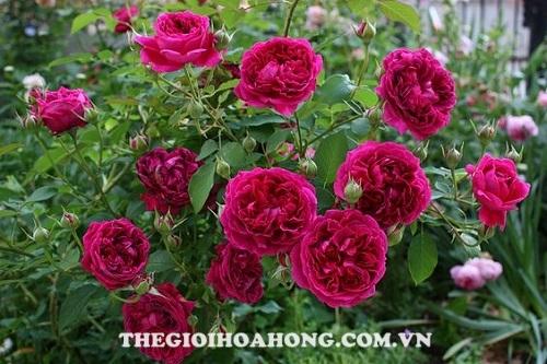 Hoa hồng tree rose William Shakespeare