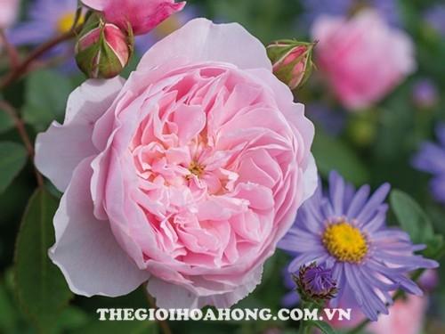 hoa hồng Wisley 2008