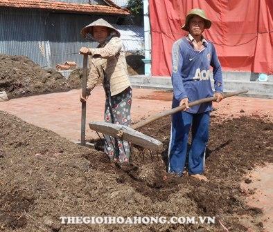 Xử lý phân rơm trước khi trồng hồng