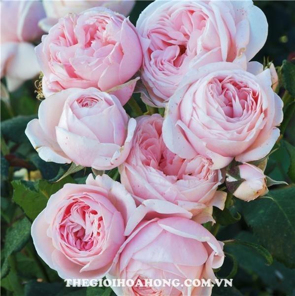 Bí quyết chăm sóc Hoa hồng leo Nahema (1)