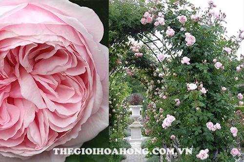 Bí quyết chăm sóc Hoa hồng leo Nahema (2)