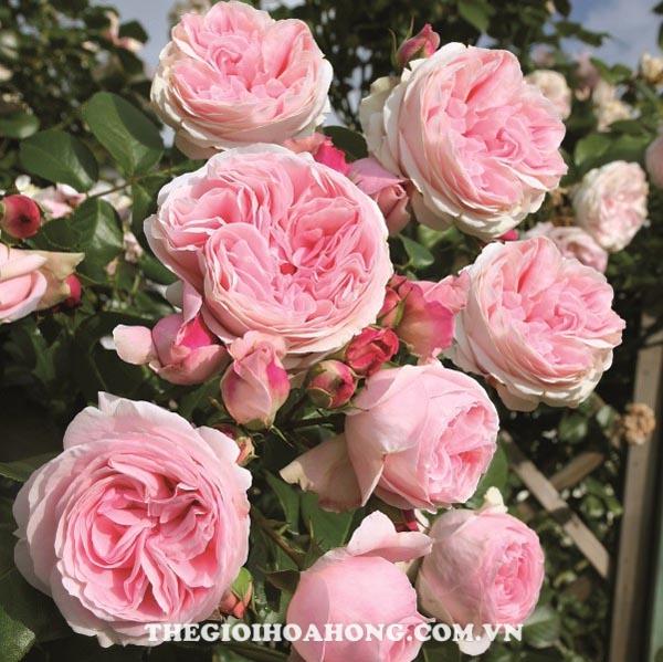 Bí quyết chăm sóc Hoa hồng leo Nahema (3)