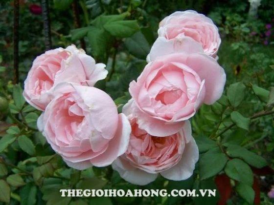 Bí quyết chăm sóc Hoa hồng leo Nahema (4)