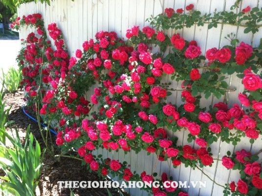 Bạn biết gì về hoa hồng leo ngoại nhập? (1)