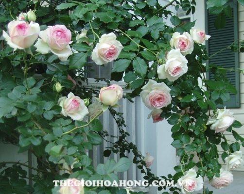 Bạn biết gì về hoa hồng leo ngoại nhập? (4)