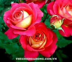 Bạn đã biết cách chăm sóc hoa hồng Midsummer chưa? (1)