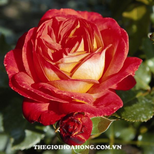 Bạn đã biết cách chăm sóc hoa hồng Midsummer chưa? (2)
