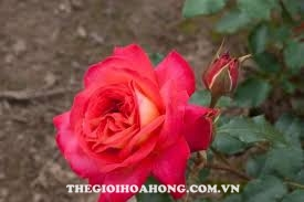 Bạn đã biết cách chăm sóc hoa hồng Midsummer chưa? (3)