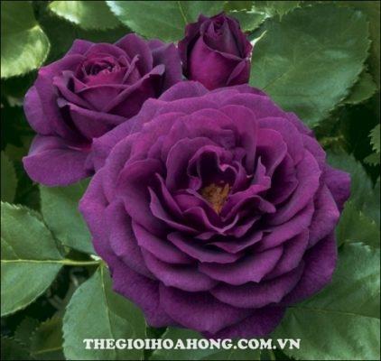 Bật mí 3 loại hoa hồng leo màu tím cực đẹp (2)