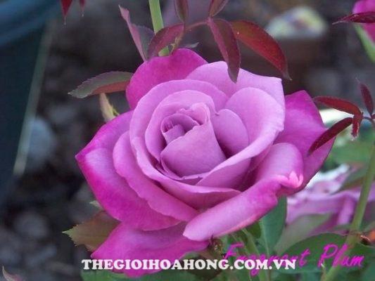 Bật mí 3 loại hoa hồng leo màu tím cực đẹp (3)