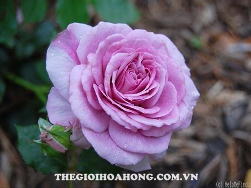 Bật mí 3 loại hoa hồng leo màu tím cực đẹp (4)