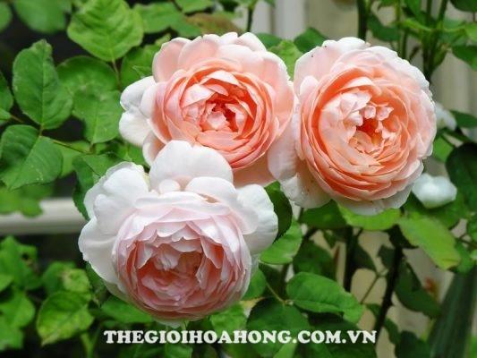 Bật mí cách chăm sóc hoa hồng leo đơn giản hiệu quả (2)