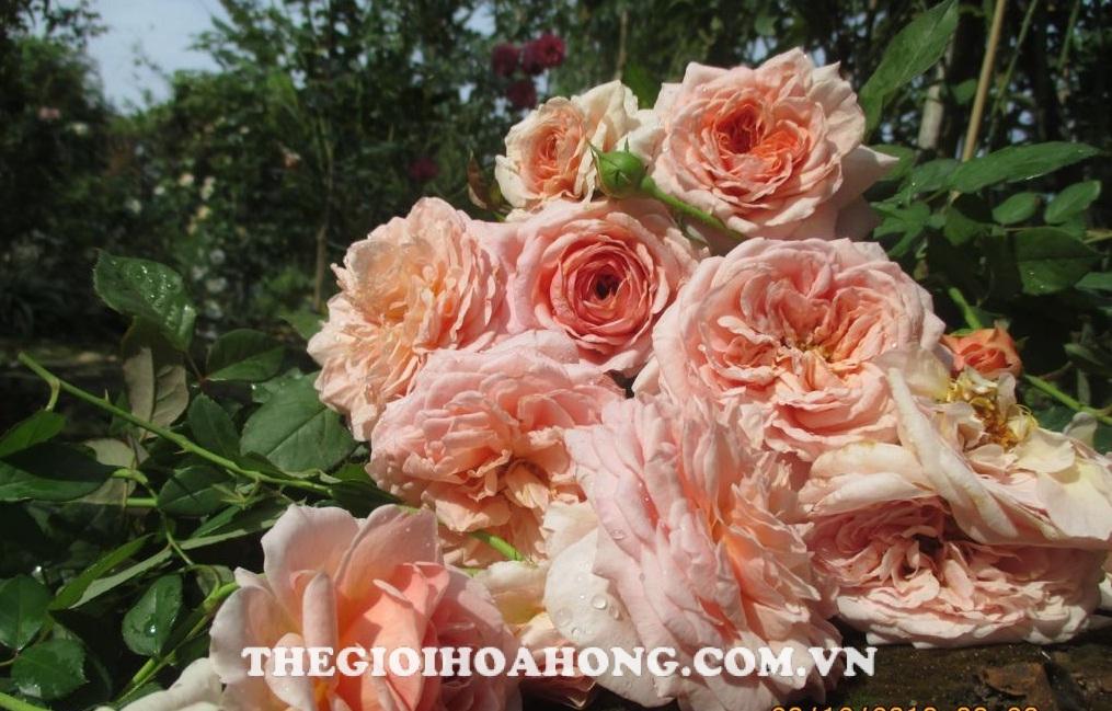 Bật mí cách chăm sóc hoa hồng ra đúng Tết Nguyên Đán (1)
