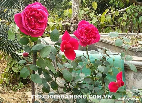 Bật mí cách chăm sóc hoa hồng ra đúng Tết Nguyên Đán (3)