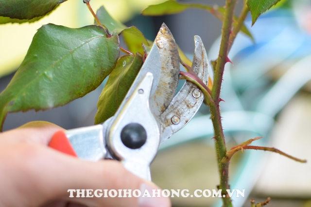 Bật mí cách chăm sóc hoa hồng ra đúng Tết Nguyên Đán (4)