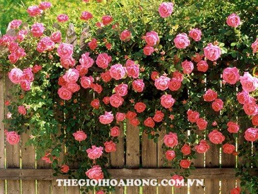 Bật mí cách trồng và chăm sóc hoa hồng leo Pháp (1)