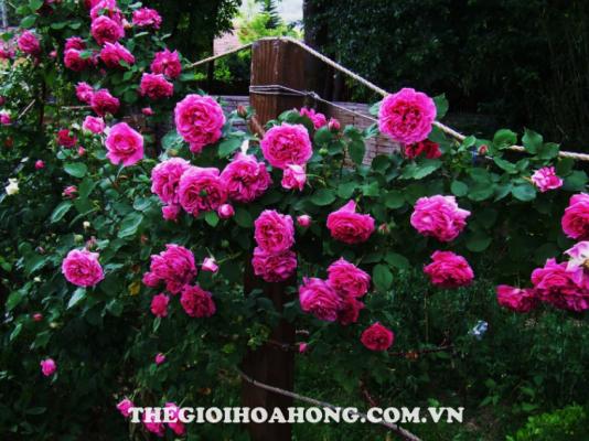 Bật mí cách trồng và chăm sóc hoa hồng leo Pháp (2)