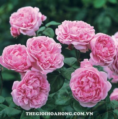 Bật mí cách trồng và chăm sóc hoa hồng leo Pháp (4)