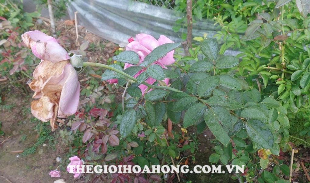 Phòng ngừa bệnh nấm hoa hồng tốt nhất