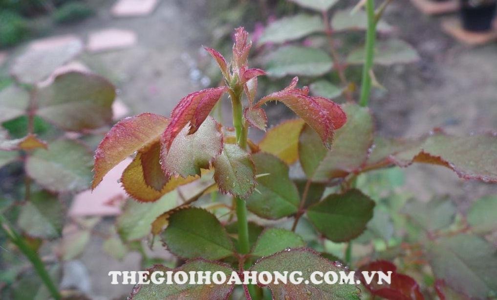 Bệnh nấm hoa hồng hại lá, thân, cuống hoa, đài hoa và cánh hoa