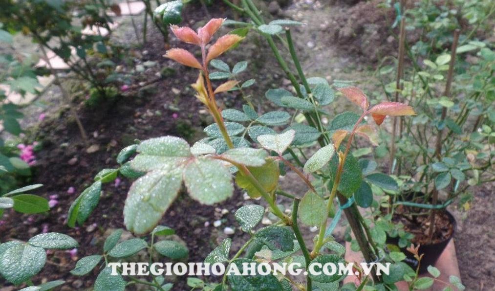 Các giai đoạn phun phòng bệnh nấm hoa hồng
