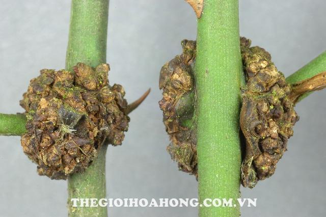 Bệnh sùi cành trên hoa hồng leo ảnh hưởng tới thân cây