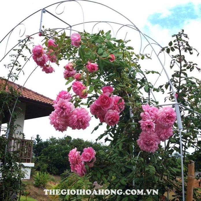 Bí quyết chăm sóc Hoa hồng leo Huntington (1)