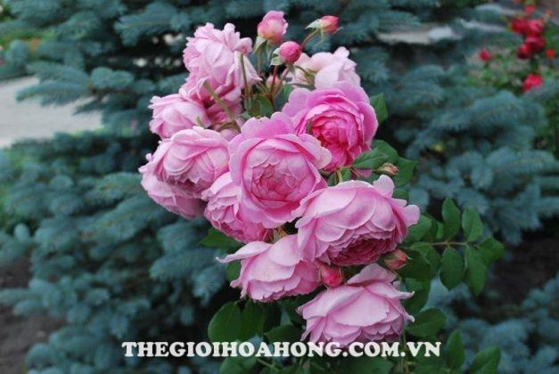 Bí quyết chăm sóc Hoa hồng leo Huntington (2)
