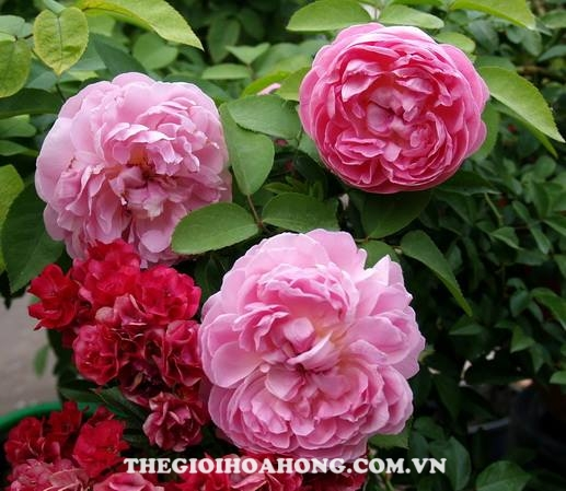 Bí quyết chăm sóc Hoa hồng leo Huntington (3)