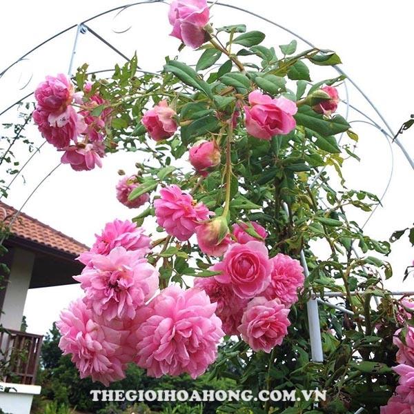 Bí quyết chăm sóc Hoa hồng leo Huntington (4)