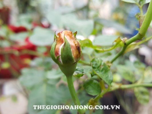 Bệnh bọ trĩ tấn công hoa hồng leo khiến nụ hoa cũng bị ảnh hưởng