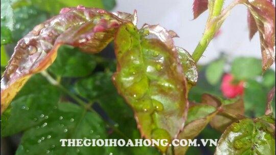 Đọt non cây hoa hồng leo bị quăn lại khi bọ trĩ tấn công
