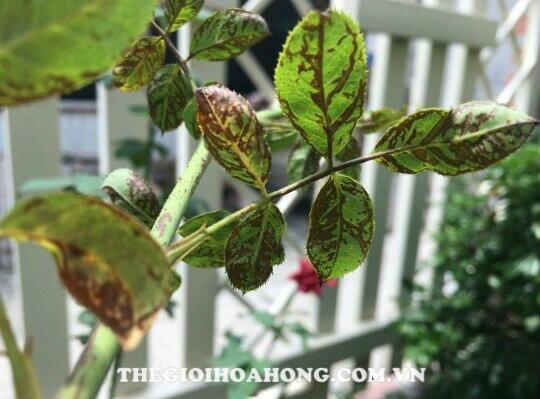 Bệnh bọ trĩ tấn công hoa hồng leo khiến lá già loang lổ màu nâu