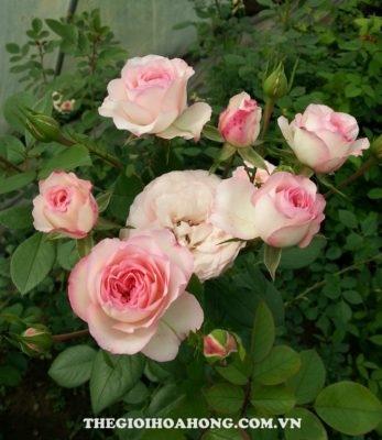 Bỏ túi cách chọn nơi bán giống hoa hồng leo thuần chủng (1)