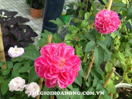 Bỏ túi cách chọn nơi bán giống hoa hồng leo thuần chủng (2)