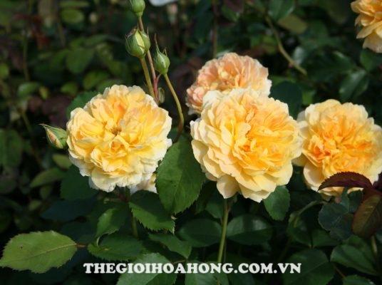 Bỏ túi cách chọn nơi bán giống hoa hồng leo thuần chủng (4)