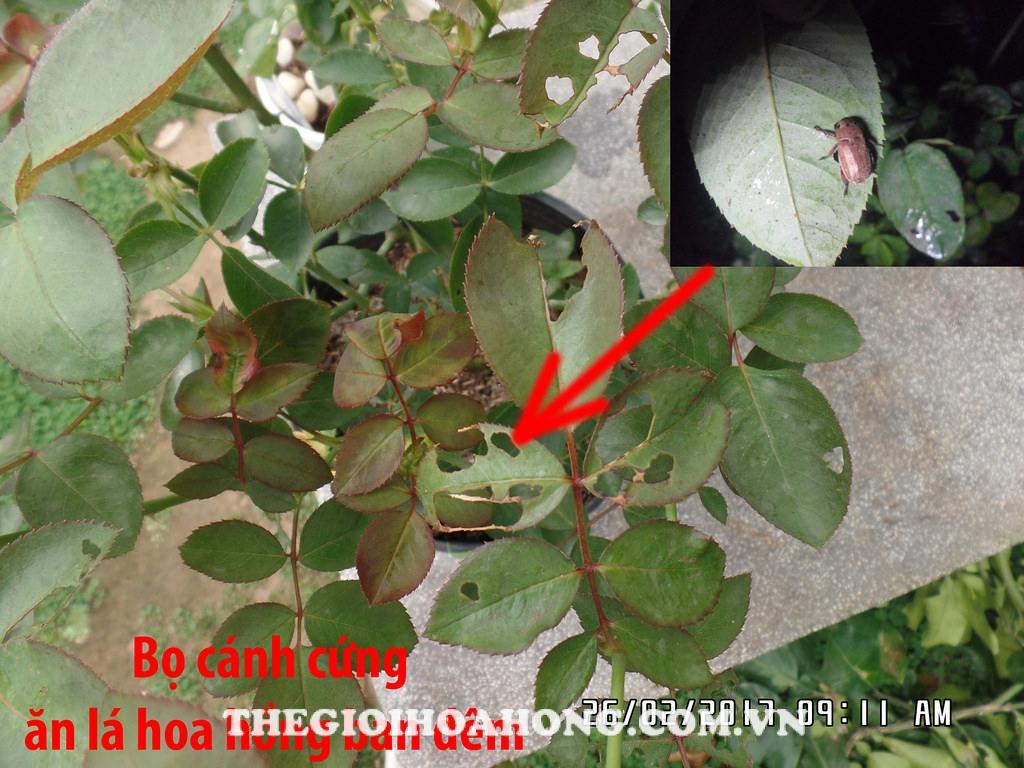 Hình ảnh bọ cánh cứng ăn lá cây hoa hồng