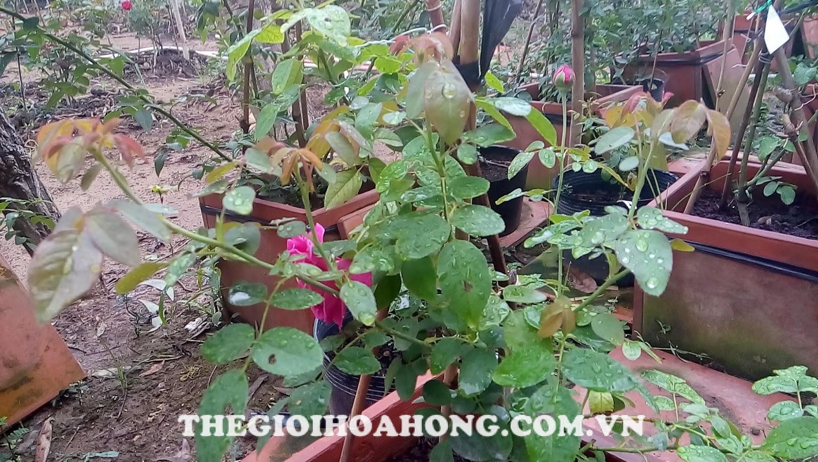 Cây hoa hồng bị bọ cánh cứng ăn lá