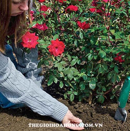 Thận trọng khi cây hồng đang bị bệnh