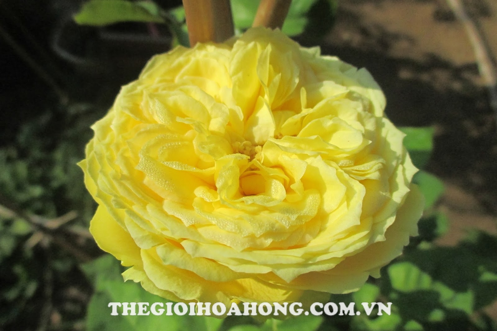 bong-hoa-hong-tree-rose-catalina-spray