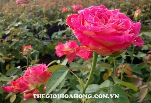 Các giống hoa hồng dễ trồng dành cho bạn (1)