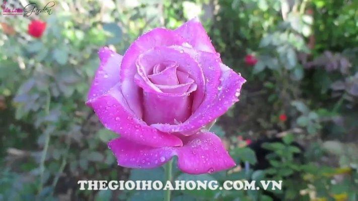 Các giống hoa hồng dễ trồng dành cho bạn (2)