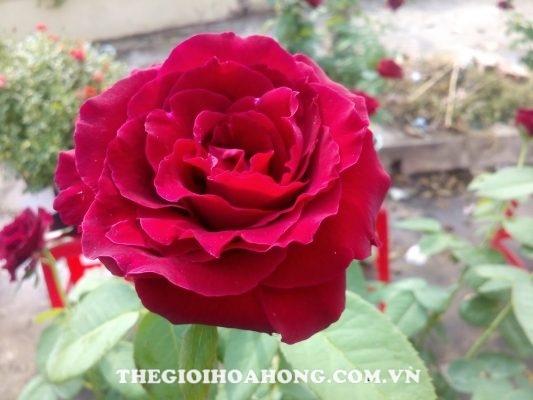 Các giống hoa hồng dễ trồng dành cho bạn (3)