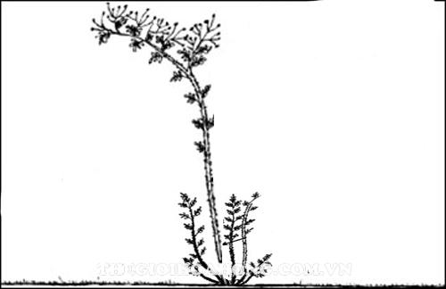 Cách cắt tỉa cây hoa hồng leo đúng nhất bạn nên biết (2)