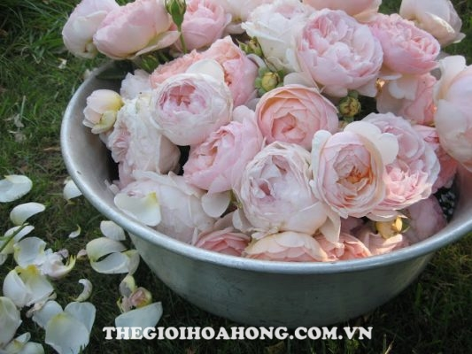 Cách cắt tỉa hoa hồng David Austin (2)