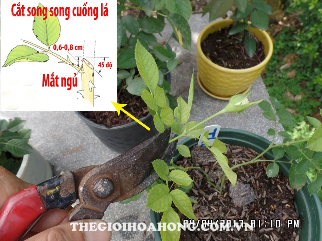 Cách chăm sóc cây hoa hồng mới giâm cành (1)