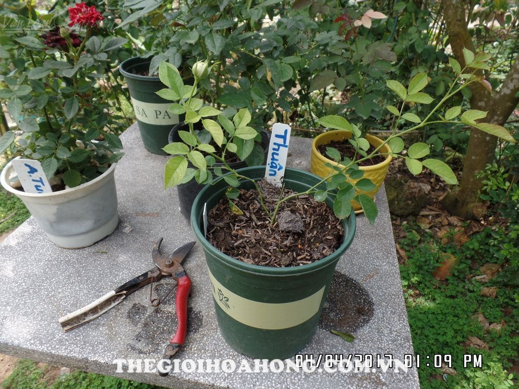 Cách chăm sóc cây hoa hồng mới giâm cành (2)