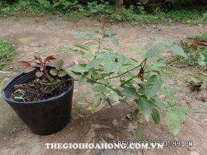 Cách chăm sóc cây hoa hồng mới giâm cành (4)