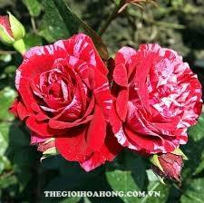 Cách chăm sóc Hoa hồng Henri Matisse bạn nên biết (3)